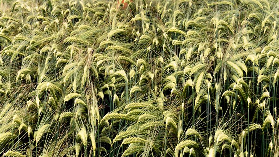 Winter barley variety Gimlet