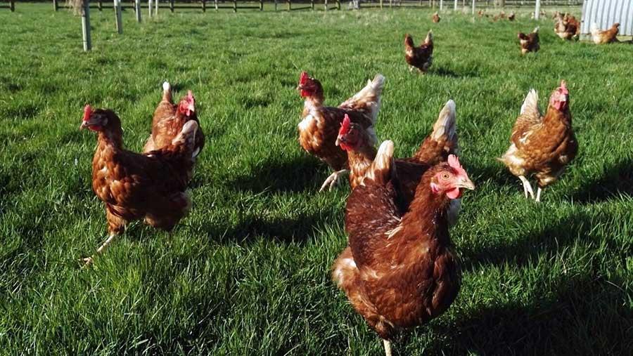 Minskip Farm hens
