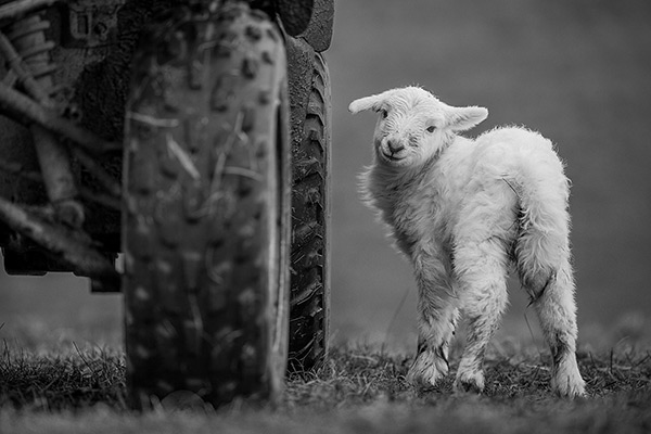 Lamb by Sorcha Lewis