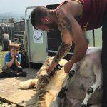 Elen Hughes shearing