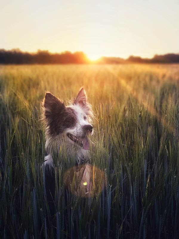 Dog in barley by Manon Fosburgh