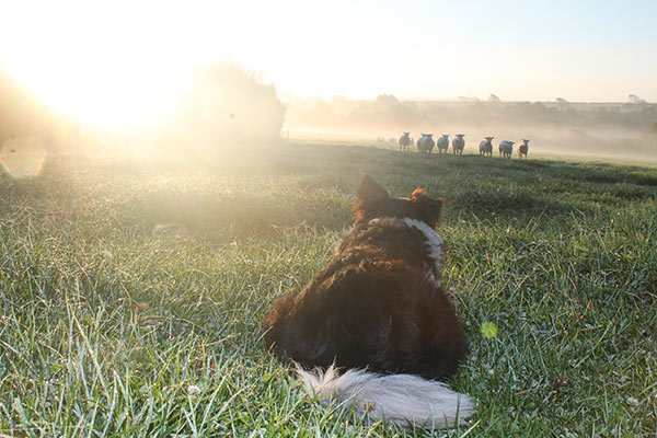 Katie Rogers sheep dog photo