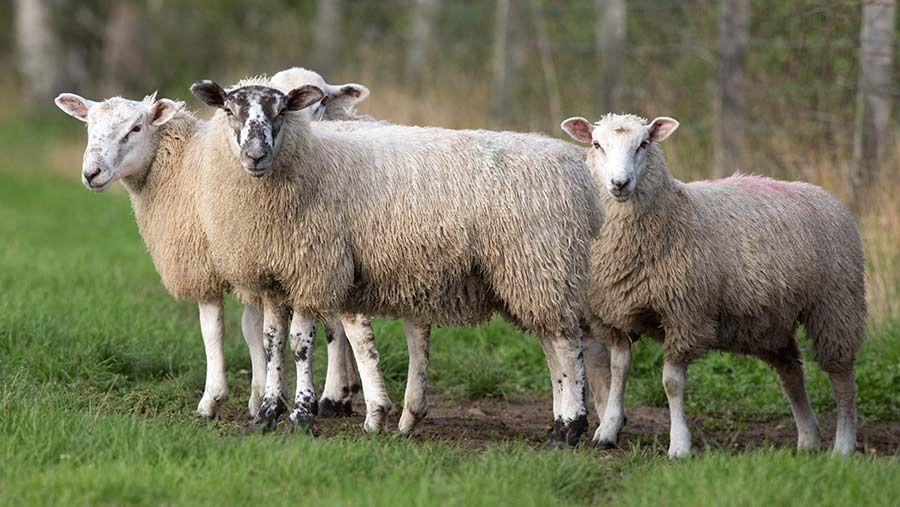 Pasteurellosis has been diagnosed on sheep farms in lambs © Tim Scrivener