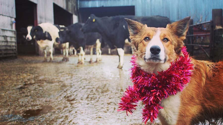 Bruno farm dog with tinsel