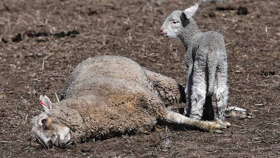 A lamb stands beside its dead mother in a dry field