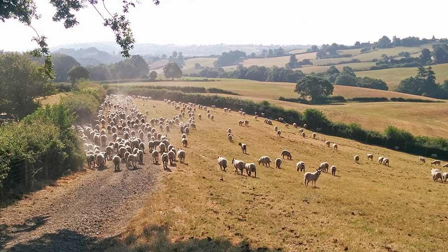 Sheep move through a dry brown field