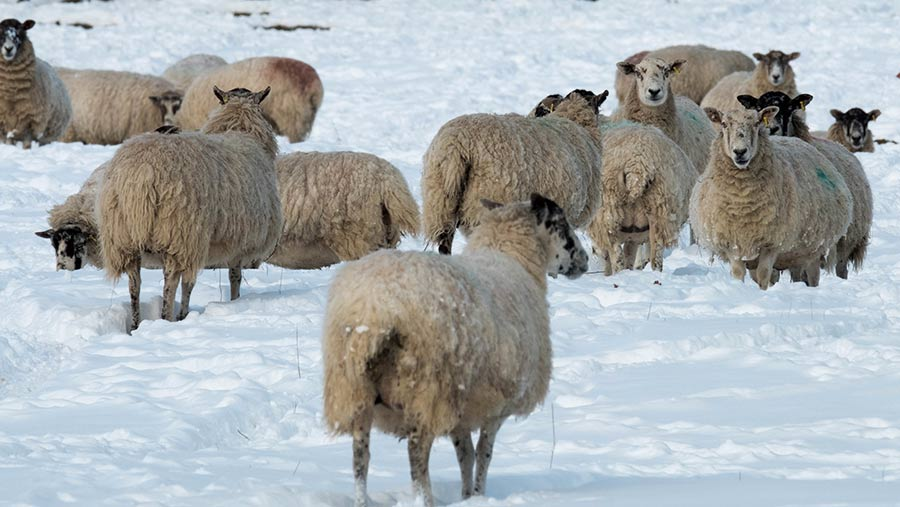 A flock of sheep standing on snow