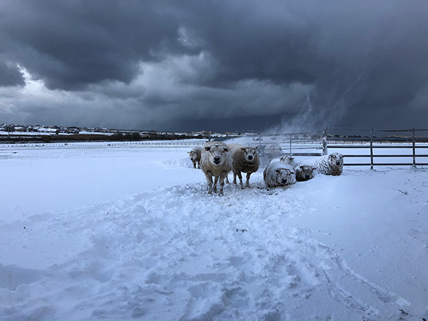 Snow storm with sheep by Beth Mellor