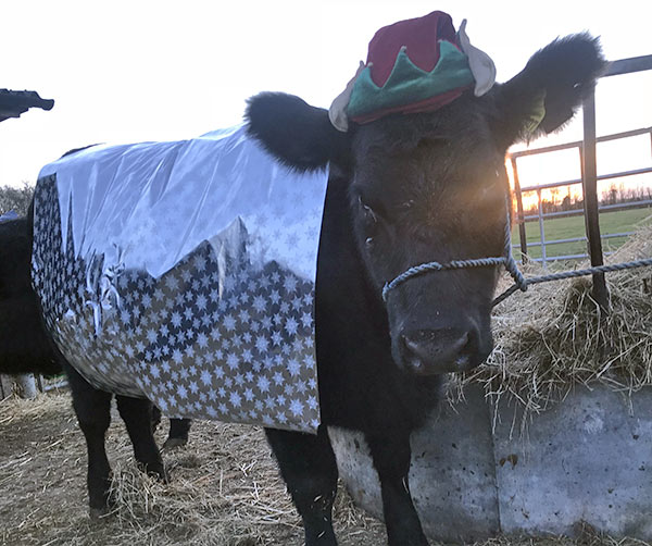 Cow wrapped up for Christmas