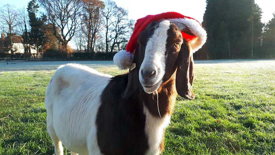 Goat in Christmas hat