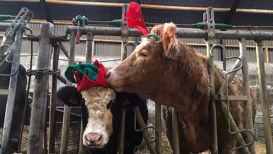 Cows in Christmas hats