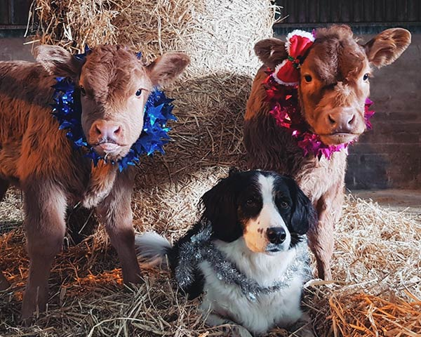 Mylo, Spot and Nelly getting into the Christmas spirit by Keely Mitchell