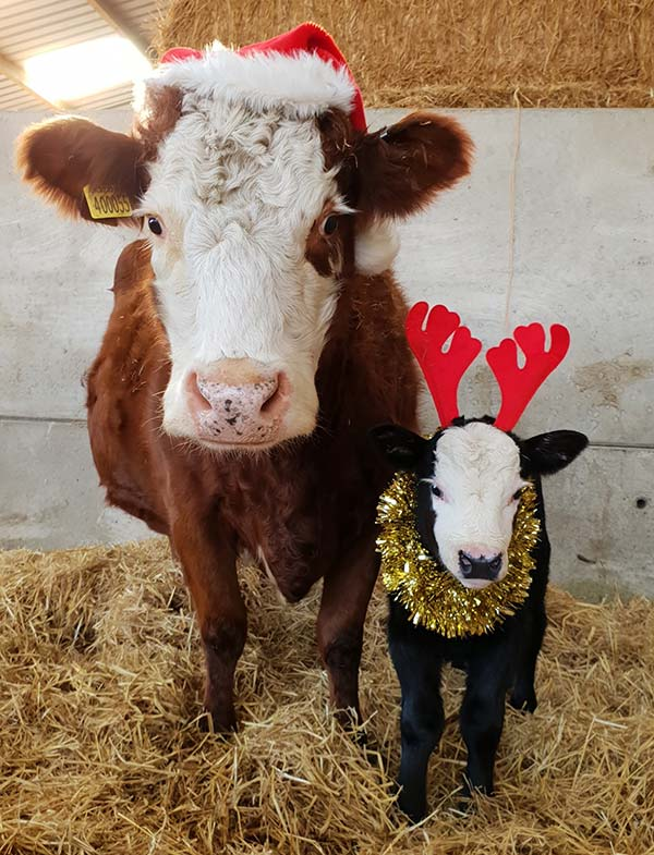 Christmas cows by Sophie Holder