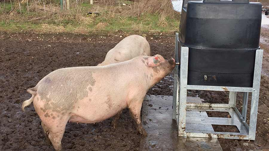 Pig drinking from a water tank