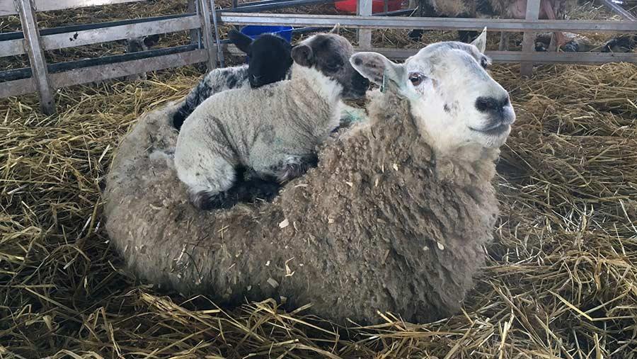 Lambs on ewe's back