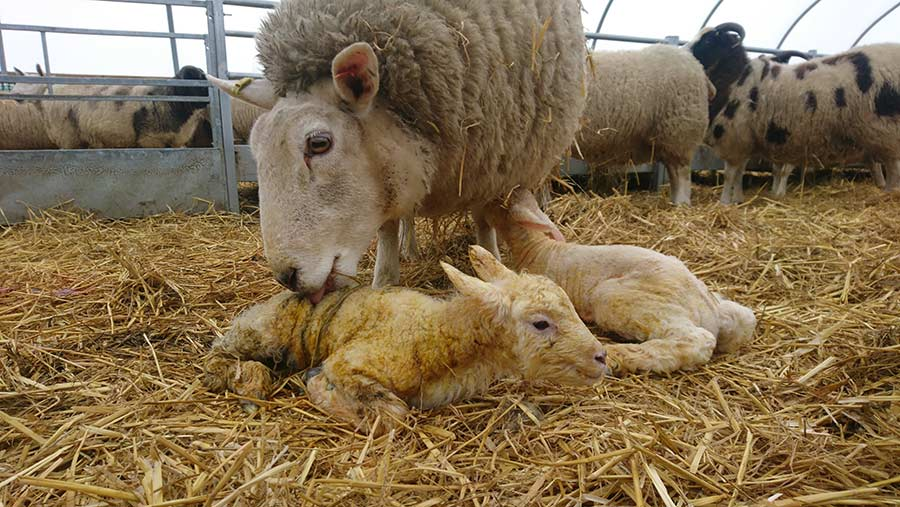 Ewe with twin lambs