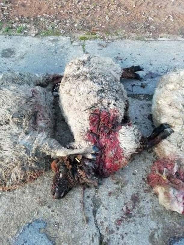 Dead Romney sheep