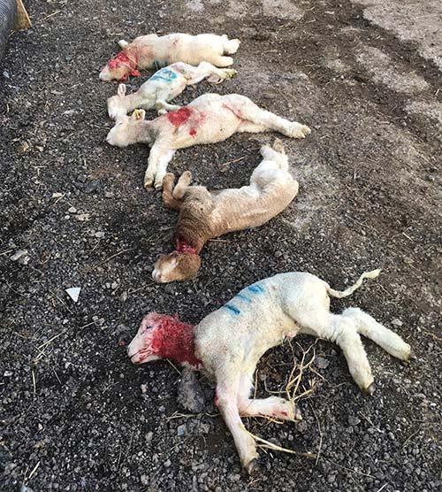 Five dead lambs