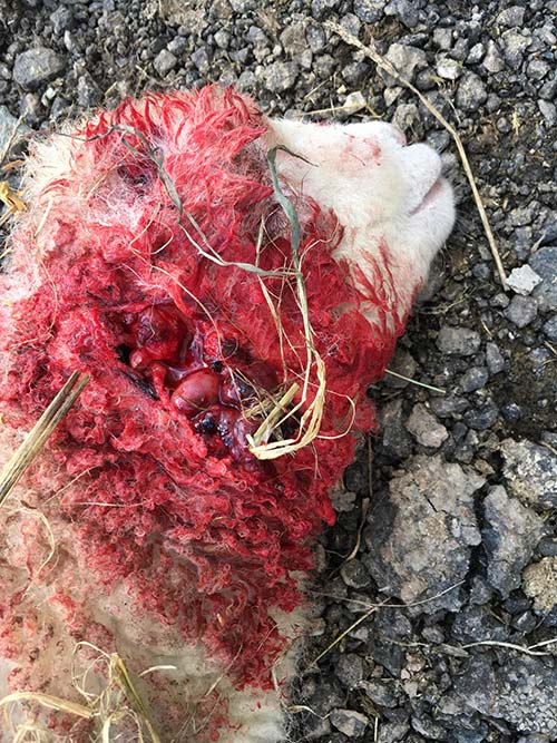 Wounded dead lamb