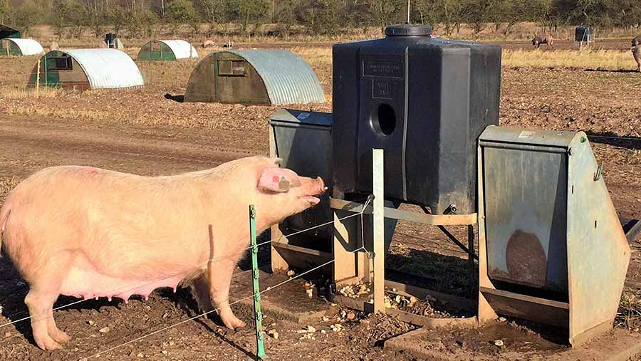 A sow drinks from a water tank