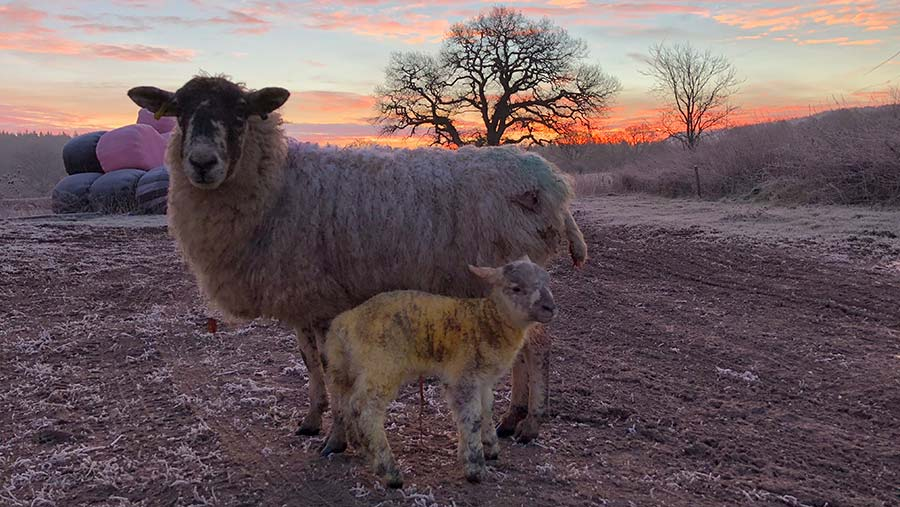 Ewe and lamb on cold morning c Jodie Marriner