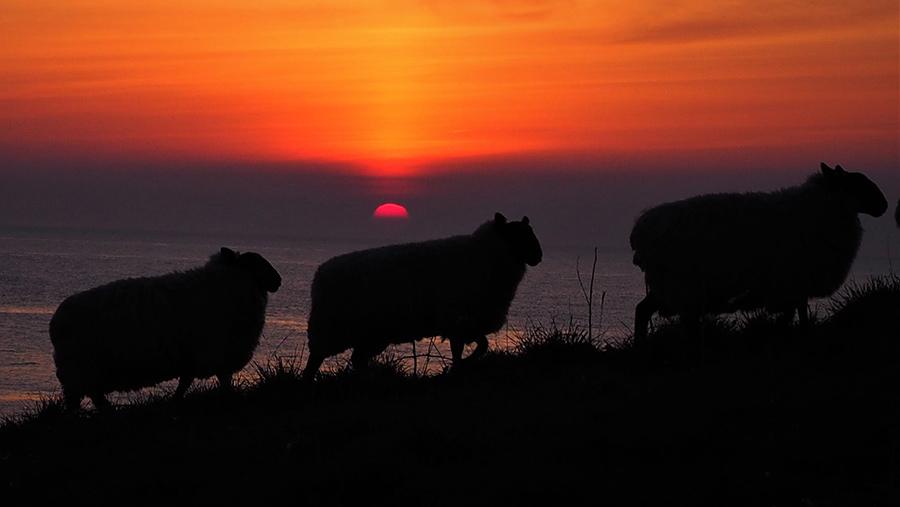 Ian Davison sheep at sunrise