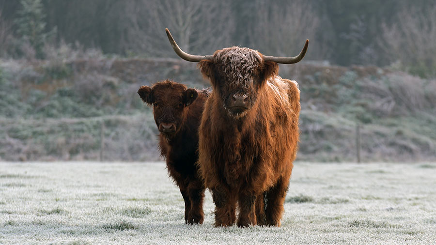 Highland cows on frosty morning