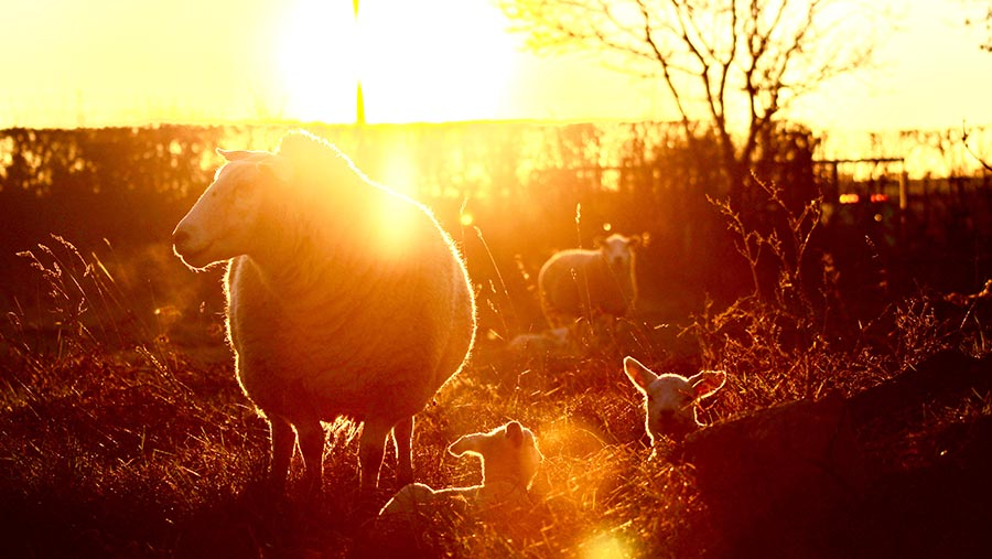 Ewe with two newborn lambs by Richard heady