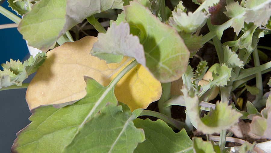 OSR leaves showing sulphur deficiency
