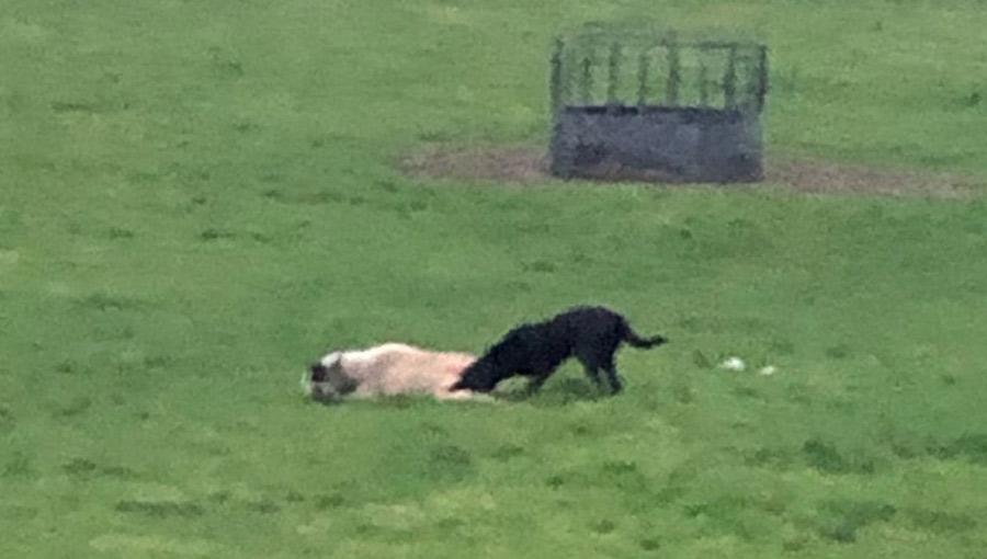 dog attacking sheep
