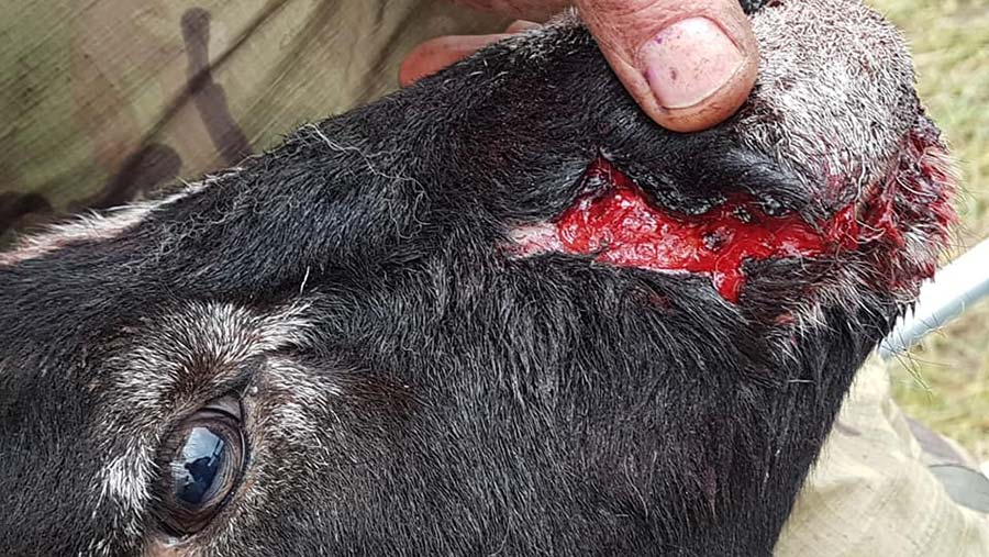 Close=up of bite marks on sheep's face