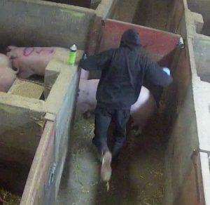 Man preparing to kick pig