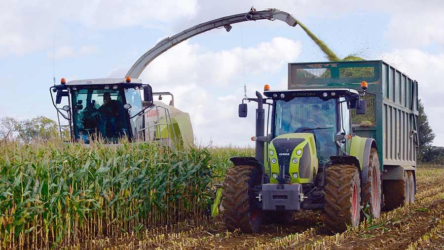Cutting maize