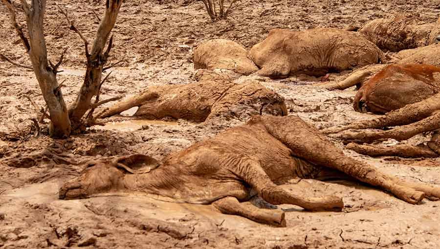 drowned cattle Australia