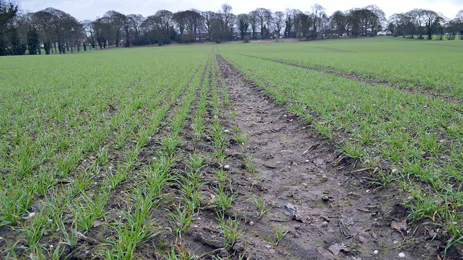 Early growth of Crusoe wheat