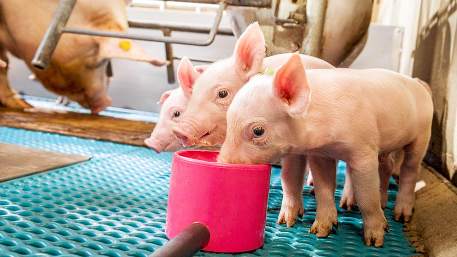 Piglets feeding from a plastic cup