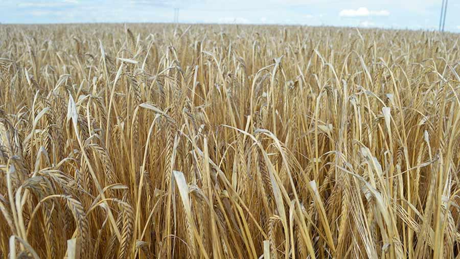 Field of malting barley