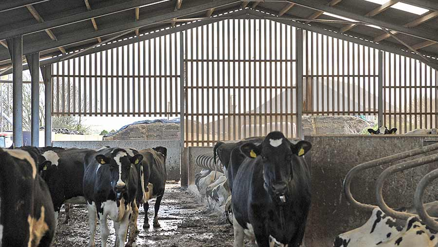 Cows in shed with perforated box cladding
