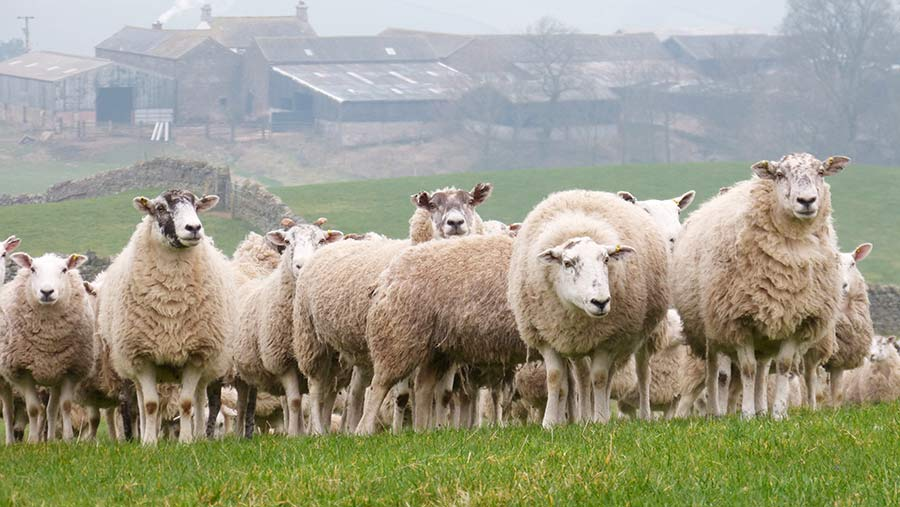 Lleyn tups are now being used across the flock as an easy lambing sire for self replacement purposes