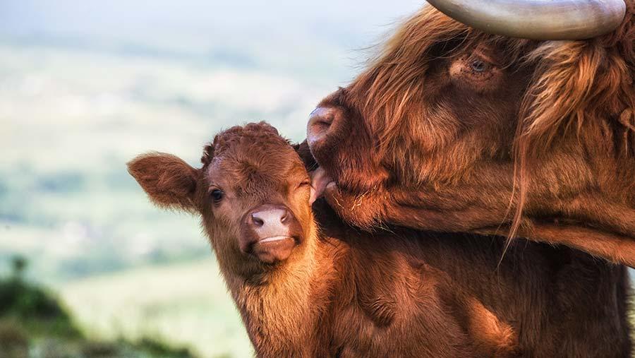 Highland cow licking calf