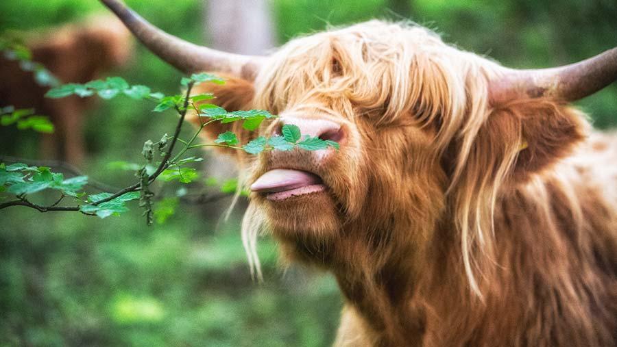 Highland cow eating leaf