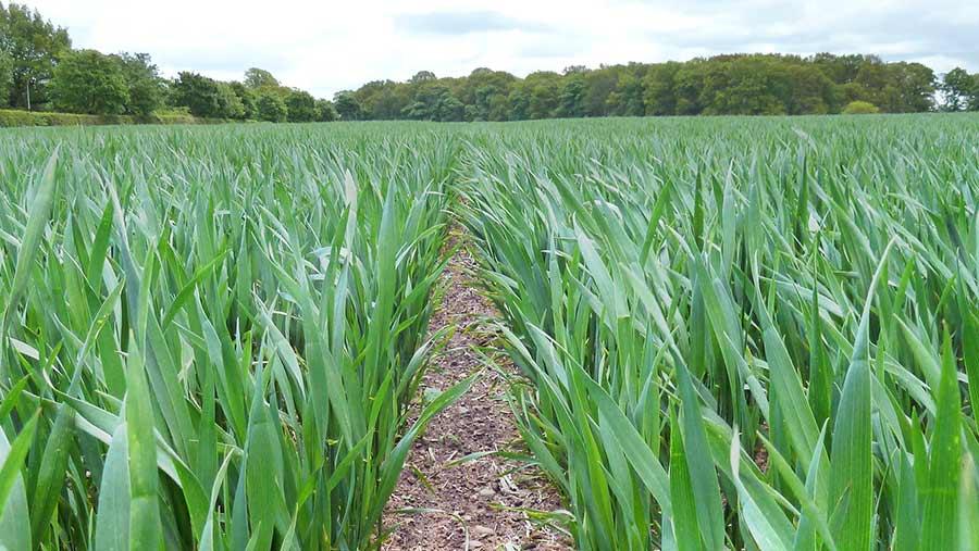Xrusoe wheat