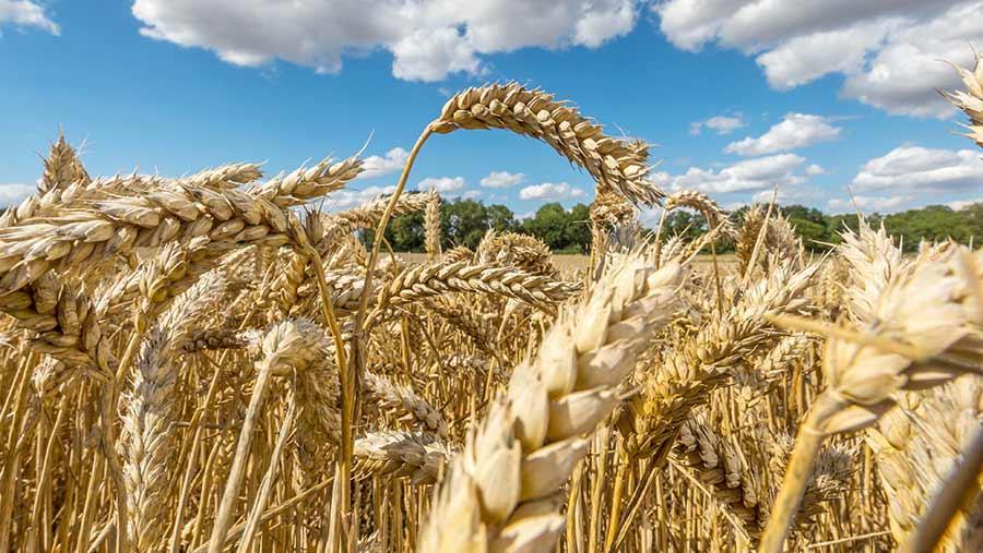 Wheat crop in ear