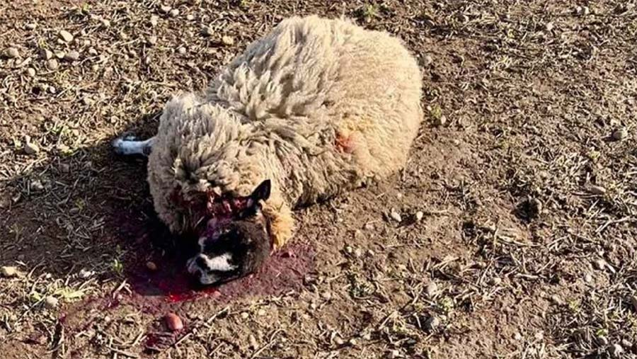 Dead sheep on ground