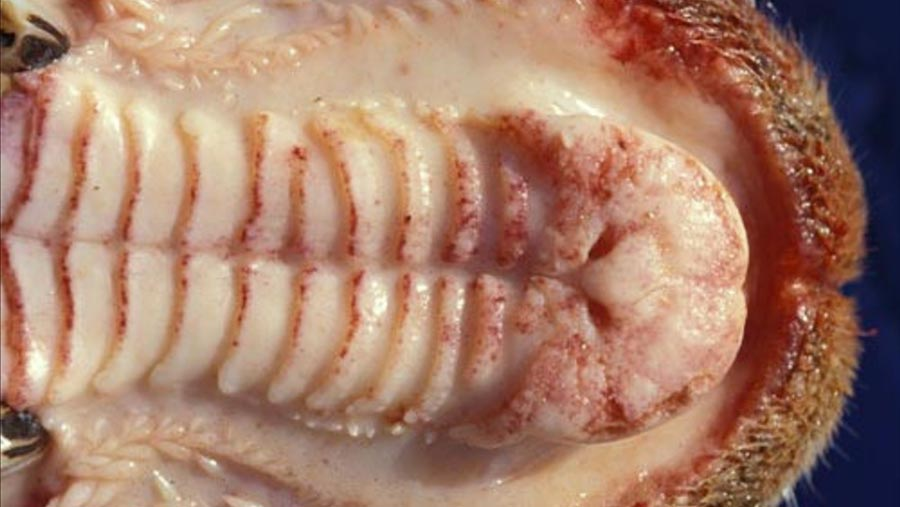Clinical signs of BTV in a sheep's mouth © Defra