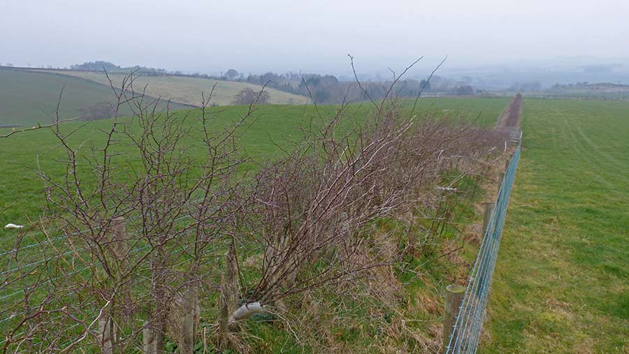 Young trees along a fence line