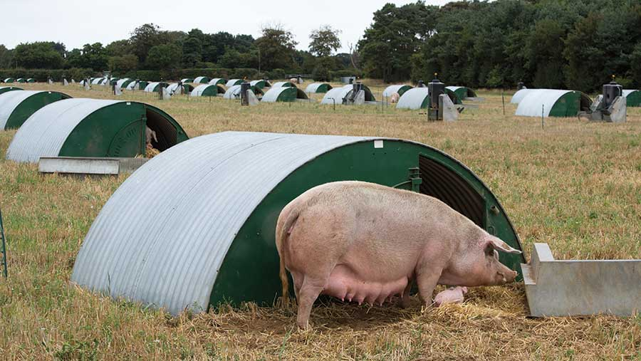 Pigs being reared outdoors