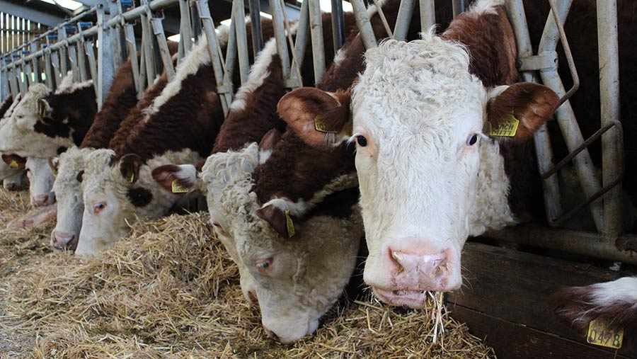 Herefords at Netherhall