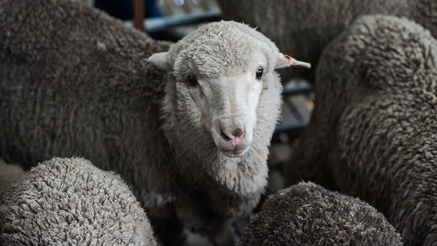 Merino lambs born in 2018 from 50-year-old semen © Morgan Hancock