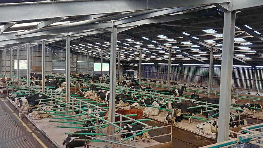A light-filled shed with cows in pens